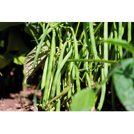 Вердигон - фасоль, 100 000 семян, Syngenta/Сингента (Голландия), фото 1