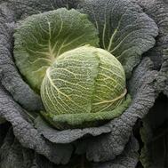 Виратоба F1 - капуста савойская, 2 500 семян, Syngenta/Сингента (Голландия), фото 1
