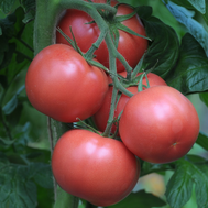 Рестлер F1 - томат индетерминантный, 500 и 1 000 семян, Seminis/Семинис (Голландия), фото 1