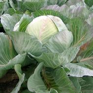 Сельма F1 - капуста белокочанная, 1 000, 2 500 и 10 000 семян, Rijk Zwaan/Райк Цваан (Голландия), фото 1