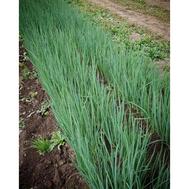 Капитал - семена лука на перо, 1 кг, Гавриш/Gavrish (Россия), фото 1