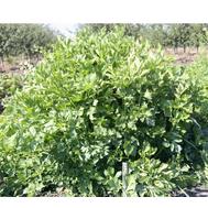 Потенциал - семена сельдерея, Гавриш/Gavrish (Россия), фото 1