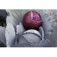 Реску F1 - капуста краснокочанная, 2 500 семян, Syngenta/Сингента (Голландия), фото 1