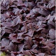 Жиголо - семена базилика, Гавриш/Gavrish (Россия), фото 1
