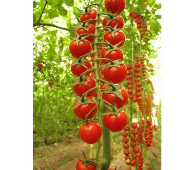 Сомма F1 - томат для переработки, 1 000 и 5 000 семян, Nunhems/Нунемс (Голландия), фото 1