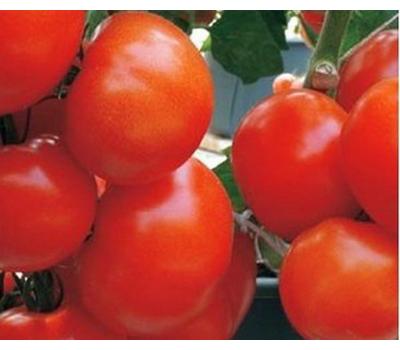 Корвинус F1 - семена томатов, 500 семян, Seminis/Семинис (Голландия), фото 1