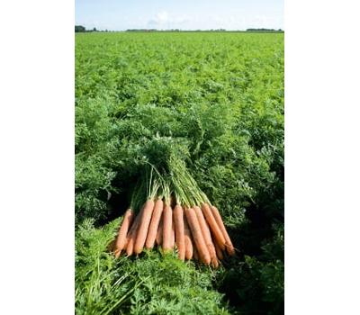 Намдал F1 - семена моркови, 1 000 000 семян (прецизионные, фр. от 1,6 до 2,6 мм), Bejo/Бейо (Голландия), фото 1