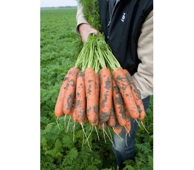 Нарбонне F1 - семена моркови, 1 000 000 семян (прецизионные, фр. от 1,6 до 2,6 мм), Bejo/Бейо (Голландия), фото 1