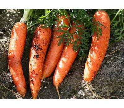 Номинатор F1 - семена моркови, 1 000 000 семян (прецизионные, фр. от 1,6 до 2,6 мм), Bejo/Бейо (Голландия), фото 1