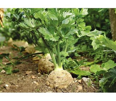 Балена - сельдерей корневой, 10 000 семян (стандарт и драже), Bejo/Бейо (Голландия), фото 1