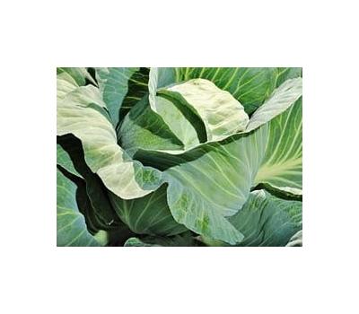 Блоктор F1 - капуста белокочанная, 2 500 семян, Syngenta/Сингента (Голландия), фото 1