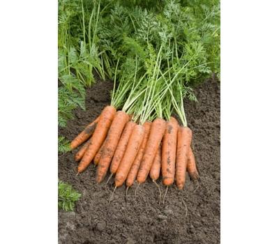 Берлин F1 - семена моркови, 1 000 000 семян (прецизионные, фр. от 1,6 до 2,6 мм), Bejo/Бейо (Голландия), фото 1
