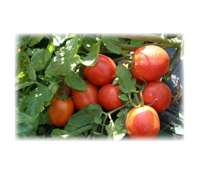 Адаптор F1 - семена томатов, 100 семян, Гавриш (Gavrish) Россия, фото 1