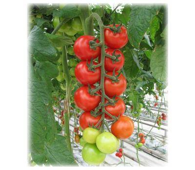 Мопс F1 - семена томатов, Гавриш/Gavrish (Россия), фото 1