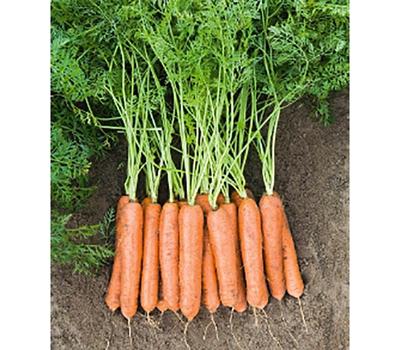 Ньюкасл F1 - семена моркови, 1 000 000 семян (прецизионные, фр. от 1,6 до 2,6 мм), Bejo/Бейо (Голландия), фото 1
