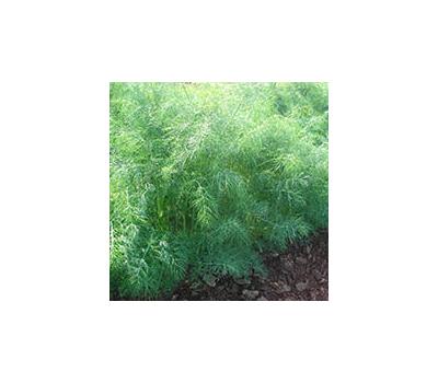 Голдкрон - семена укропа, 250 гр, Enza Zaden/Энза Заден (Голландия), фото 1