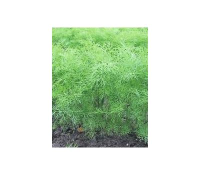 Грин Сливз - семена укропа, 250 гр, Enza Zaden/Энза Заден (Голландия), фото 1