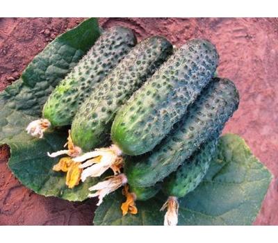 Директор F1 - семена корнишонного огурца,  50, 500 и 1 000 семян, Nunhems/Нунемс (Голландия), фото 1