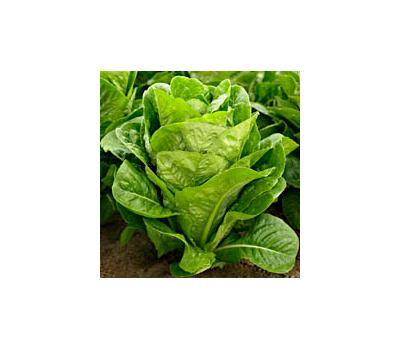 Корбана - семена салата Римский или Романо, 5 000 шт., Enza Zaden/Энза Заден (Голландия), фото 1