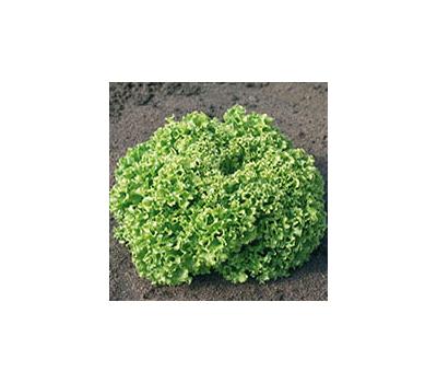 Эстроза - семена салата Лолло Блонда, 5 гр, Enza Zaden/Энза Заден (Голландия), фото 1