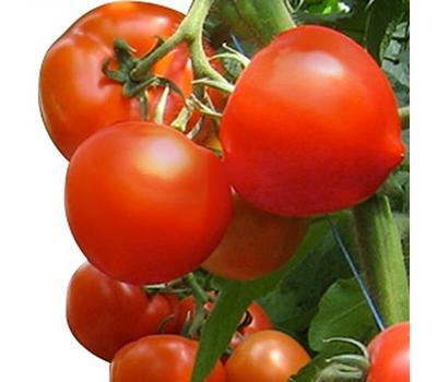 Агилис  F1 - семена томатов, 500 семян, Enza Zaden/Энза Заден (Голландия), фото 1