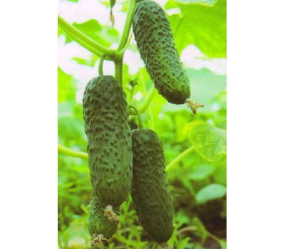 Кибрия F1 - семена корнишонов, 100, 250 и 1 000 семян, Rijk Zwaan/Райк Цваан (Голландия), фото 1