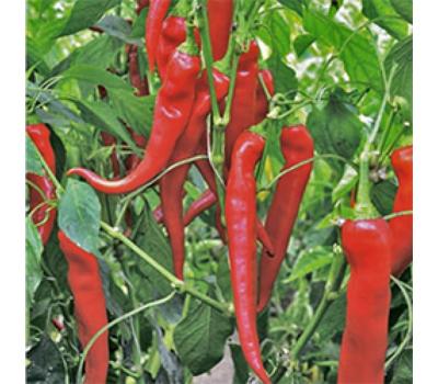 Янка F1 -  семена перца острого, 1 000 семян, Rijk Zwaan/Райк Цваан (Голландия), фото 1