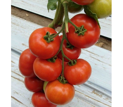 Белле F1 -  семена томатов, 500 семян, Enza Zaden/Энза Заден (Голландия), фото 1