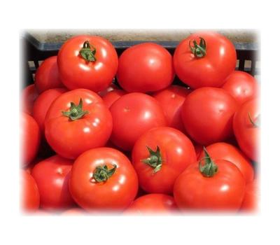 Айваз F1  - семена томатов, 1 000 семян, Enza Zaden/Энза Заден (Голландия), фото 1