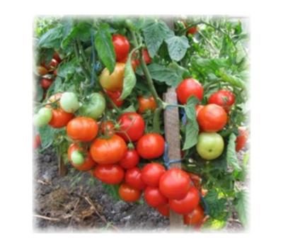 Берсола F1 - семена томатов, 500 семян, Enza Zaden/Энза Заден (Голландия), фото 1