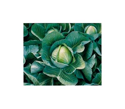 Харрикейн F1 – капуста белокочанная, 2 500 семян (калиброванные), Bejo/Бейо (Голландия), фото 1