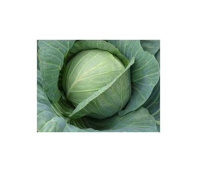 Хинова F1 – капуста белокочанная, 2 500 семян (калиброванные), Bejo/Бейо (Голландия), фото 1
