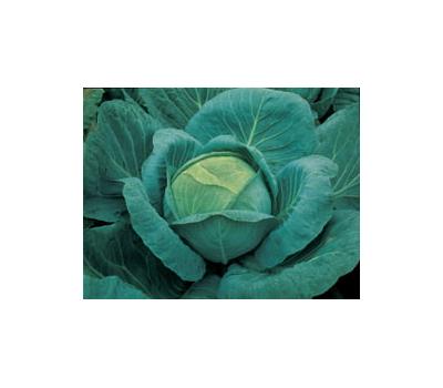 Крауткайзер F1 – капуста белокочанная, 2 500 семян (калиброванные), Bejo/Бейо (Голландия), фото 1