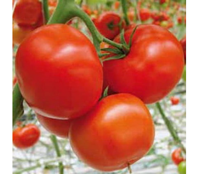 Буран F1 - семена томатов, 500 семян, Enza Zaden/Энза Заден (Голландия), фото 1