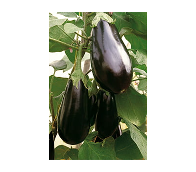 Блек Перл F1 -  семена баклажана, 250 семян, Enza Zaden/Энза Заден (Голландия), фото 1