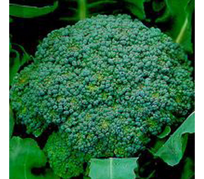 Лаки F1 - капуста брокколи, 2 500 семян, Bejo/Бейо (Голландия), фото 1