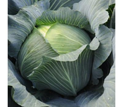 Леопольд F1 - капуста белокочанная,  2 500 семян (калиброванные), Bejo/Бейо (Голландия), фото 1