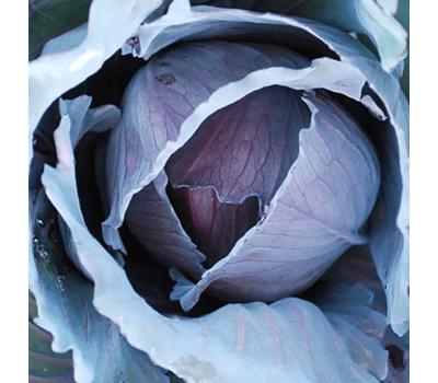 Ранчеро F1 - капуста краснокочанная, 2 500 семян (прецизионные),  Bejo/Бейо (Голландия), фото 1