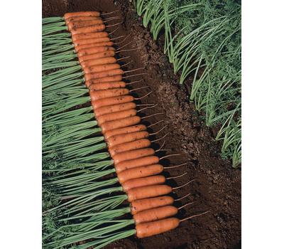 Тангерина F1 - семена моркови, 100 000 семян, (фр. от 1.4 до 2.8), Takii Seed/Таки Сидс (Япония), фото 1
