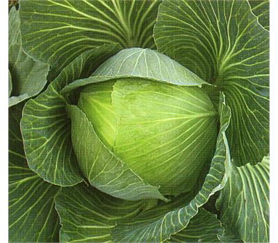 Чирс F1 - капуста белокочанная, 2 500 семян, Takii Seed/Таки Сидс (Япония), фото 1