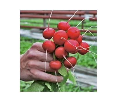 Ирене F1 - семена редиса, от 50 г до 5 кг семян,  Rijk Zwaan/Райк Цваан (Голландия), фото 1