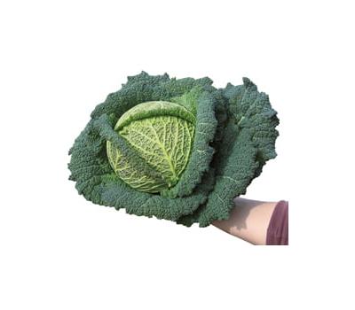 Оваса F1 - капуста савойская, 2 500 семян (прецизионные), Bejo/Бейо (Голландия), фото 1