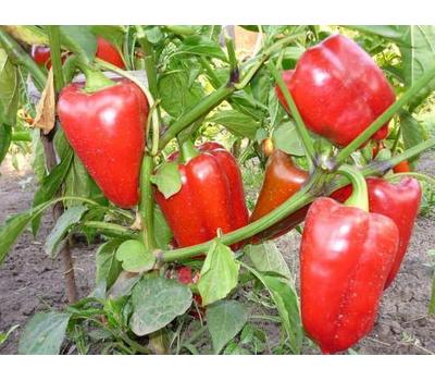 Рубине F1 -  семена перца сладкого, 500 семян, Enza Zaden/Энза Заден (Голландия), фото 1