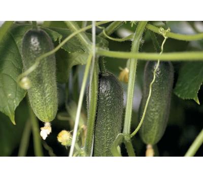 Адам F1 – огурец партенокарпический, 50, 250 и 1 000 семян, Bejo/Бейо (Голландия), фото 1