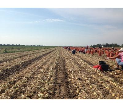 GS-318 F1 - семена лука репчатого, 250 000 семян, Holland Seeds, (Голландия), фото 3