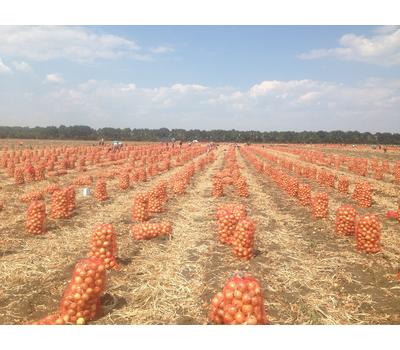 GS-318 F1 - семена лука репчатого, 250 000 семян, Holland Seeds, (Голландия), фото 2