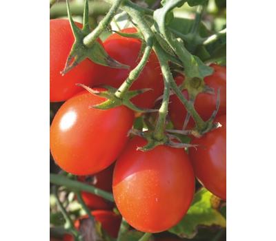 6 Пунто 7 F1 - томат детерминантный, от 1 000 до 2 500 семян, Seminis/Семинис (Голландия), фото 1
