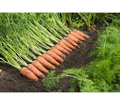 Каскад F1 - семена моркови, 1 000 000 семян (прецизионные, фр. от 1,6 до 2,6 мм), Bejo/Бейо (Голландия), фото 2
