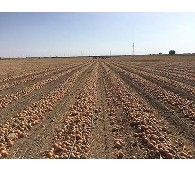 Хайджет F1 (Делфис F1) - семена лука репчатого, 250 000 семян, Holland Seeds, (Голландия), фото 5