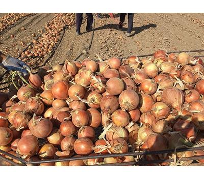 Хайджет F1 (Делфис F1) - семена лука репчатого, 250 000 семян, Holland Seeds, (Голландия), фото 6